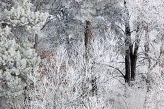 Bereifte Bäume Stockbild
