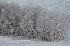 Bereifte Büsche im Schnee Stockbilder