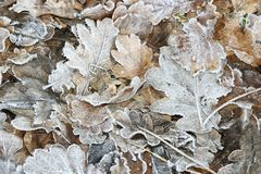 Bereifte Blätter Lizenzfreies Stockfoto