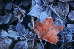 Bereifte Blätter Stockbild