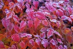 Bereifte Blätter von Physocarpus-opulifolius Diabolo Stockbilder
