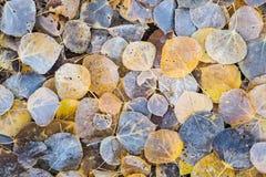 Bereifte, gefallene Espenblätter Stockfotografie