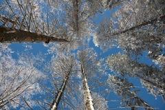 Bereifte Krone von Bäumen mit klarem blauem Himmel Lizenzfreie Stockfotografie