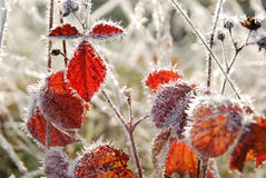 Bereifte Rotblätter im Herbst Lizenzfreies Stockfoto