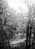 Bereifte Schwarzweiss-Bäume Stockbild