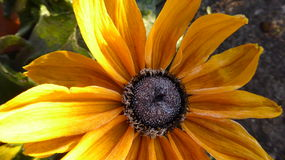 Bereifte Sonnenblume Stockfotografie