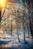 Bereifte Zweige des Suppengrüns im Winterwald bei Sonnenuntergang Stockfotografie