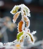 Bereifte Zweige und Blätter Stockfotos