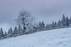 Bereifter Laubbaum unter schneebedeckten Fichten Stockbilder