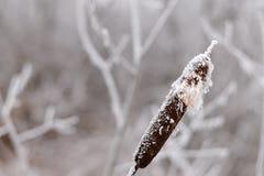Bereifter REEDabschluß oben gegen Hintergrund von gefrorenen Niederlassungen Stockfoto