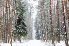 Bereiftes Winter-Holz Stockfotografie