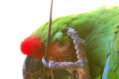 Bereik een boe-geroep met een papegaai een hoogtepunt Royalty-vrije Stock Afbeeldingen