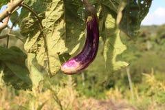 berenjena púrpura lista para la cosecha Imagen de archivo libre de regalías