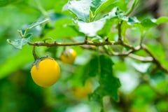 Berenjenas amarillas (aculeatissimum Jacq de la solanácea ) en jardín Foto de archivo libre de regalías
