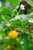 Berenjenas amarillas (aculeatissimum Jacq de la solanácea ) en jardín Imagen de archivo libre de regalías