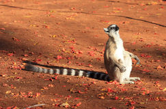 berenty lemurs reserverar den tailed cirkeln Arkivbild