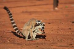 berenty lemurs reserverar den tailed cirkeln Fotografering för Bildbyråer
