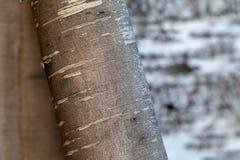 Beresta De hoogste die laag van schors, van een berk wordt gescheurd stock fotografie