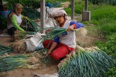 Local women are harvesting onions on a farmer`s plantation. Agriculture on the island of Sumatra stock images