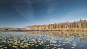 Berezinsky, Biosfeerreserve, Wit-Rusland Autumn Landscape With Lake Pond-Rivier en Mooie Berk Forest On Another stock footage