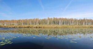 Berezinsky, réservation de biosphère, Belarus Rivière et beau bouleau Forest On Another d'Autumn Landscape With Lake Pond clips vidéos