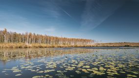 Berezinsky, reserva de la biosfera, Bielorrusia Río y abedul hermoso Forest On Another de Autumn Landscape With Lake Pond almacen de metraje de vídeo