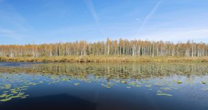 Berezinsky, reserva de la biosfera, Bielorrusia Río y abedul hermoso Forest On Another de Autumn Landscape With Lake Pond almacen de video