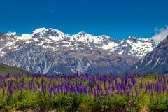 Bergäng med purpurfärgade lupin Arkivbild