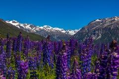 Bergäng med purpurfärgade lupin Arkivfoto