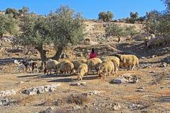 Bergère et moutons dans Olive Grove images libres de droits