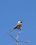 Berg Chickadee tegen Blauwe Hemel Stock Foto's