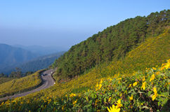 Berg der mexikanischen Sonnenblume Lizenzfreie Stockfotos