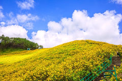 Berg gefüllte mexikanische Sonnenblume Stockbild