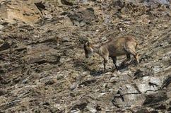 Berg-geit Stock Afbeelding
