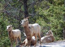 berg geiten Stock Foto