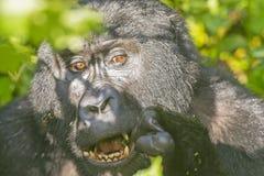 Berg Gorilla Eating im Wald Stockfotografie
