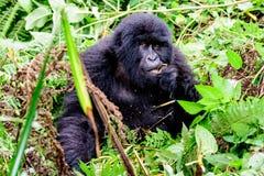 Berg Gorilla Eating im Wald Lizenzfreies Stockfoto