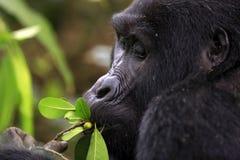 Berg Gorilla Feeding, close-up royalty-vrije stock afbeeldingen