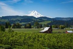 Berg-Haube unter Apfelgärten, in Oregon Lizenzfreie Stockfotografie