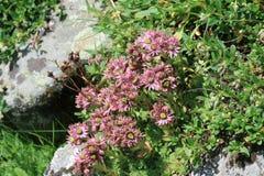Berg-houseleek Blumen in Pyrenäen Stockfotos