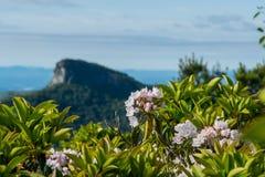 Berg Laurel Bloom met de Berg van de Lijstrots op Achtergrond Stock Afbeeldingen
