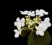 Berg Laurel Flower Royalty-vrije Stock Afbeeldingen
