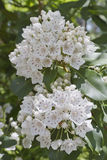 Berg Laurel Flowers Close Up Lizenzfreies Stockbild