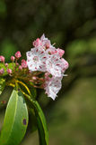 Berg Laurel Flowers Kalmia Latifolia Royaltyfri Foto