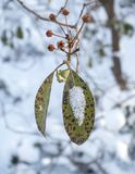 Berg Laurel Leaves med snö arkivfoto