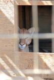 Berg Lion Cougar Puma Face Stock Afbeeldingen