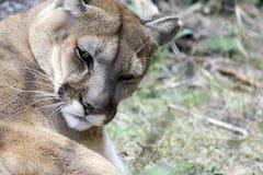 Berg Lion Walking naar Camera stock afbeelding