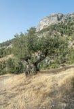 Berg met olijfboom Royalty-vrije Stock Afbeelding