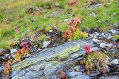 Berg mit Sempervivum Montanum Stockfoto