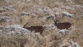 Berg Nyalas die Bloemen eten stock videobeelden